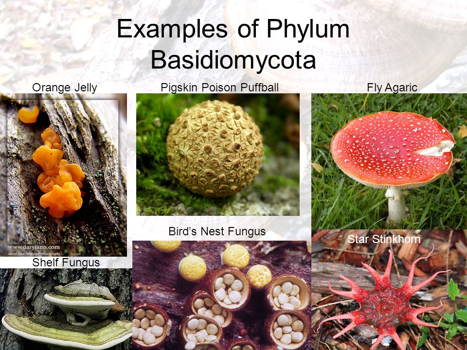 Mulch Fungi